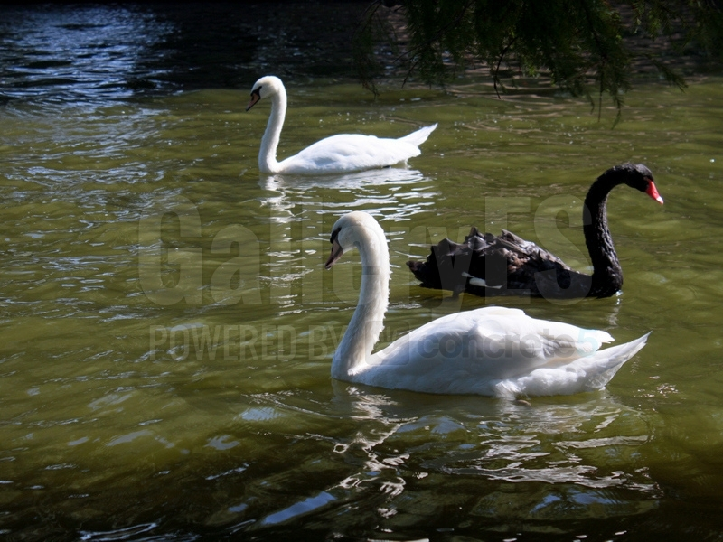 Swans in the Lake
